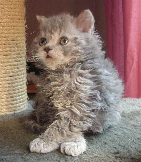 Selkirk Rex Cat Info, History, Personality, Kittens, Pictures