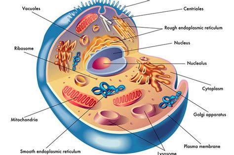 fotos de celulas animais citoplasma das c 233 lulas fun 231 227 o e composi 231 227 o estudo pr 225 tico