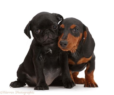 pug and dachshund dogs black pug puppy and black and dachshund photo wp43482