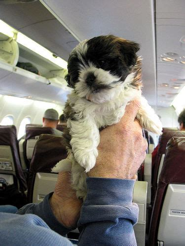 Can Dogs Fly In Cabin by Pets Pose Allergic Hazard To Plane Passengers Tails Of The City