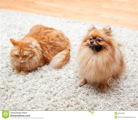 pomeranian and cats pomeranian and cat sitting on the carpet royalty free stock photography image