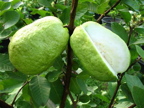 Jambu Biji Bangkok mewarnai buah jambu mewarnai gambar