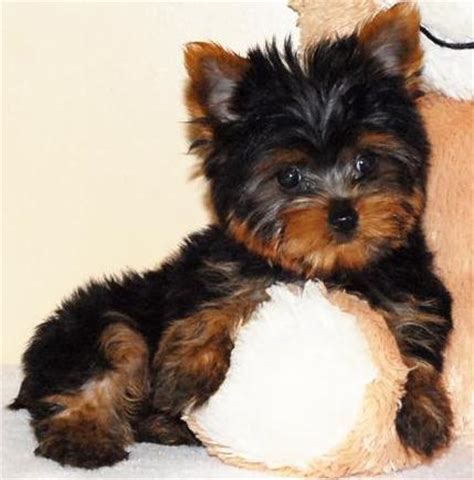 free yorkies in florida adorable teacup yorkie puppies for free adoption florida 27814930 breeds