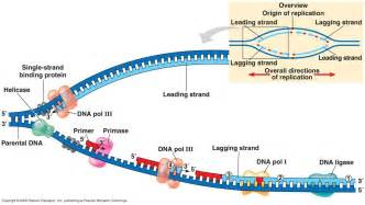 Dna Replica Biology How Does Dna Replicate