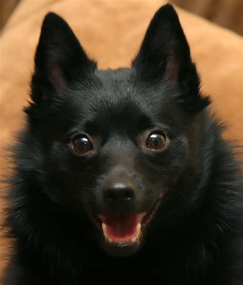 schipperke pomeranian mix puppies for sale eskimo pomeranian mix a delightful mix is ckc breeds picture