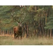 Background Wallpaper Computer Red Deer