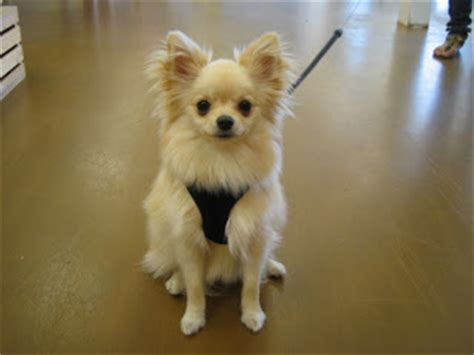 haired chihuahua pomeranian mix haired chihuahua pomeranian mix www pixshark images galleries with a bite
