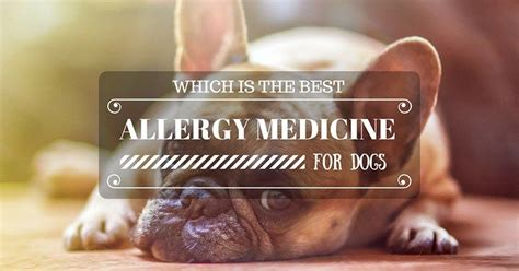best allergy medicine for dogs 1000 ideas about best allergy medicine on trivia allergy medicine and