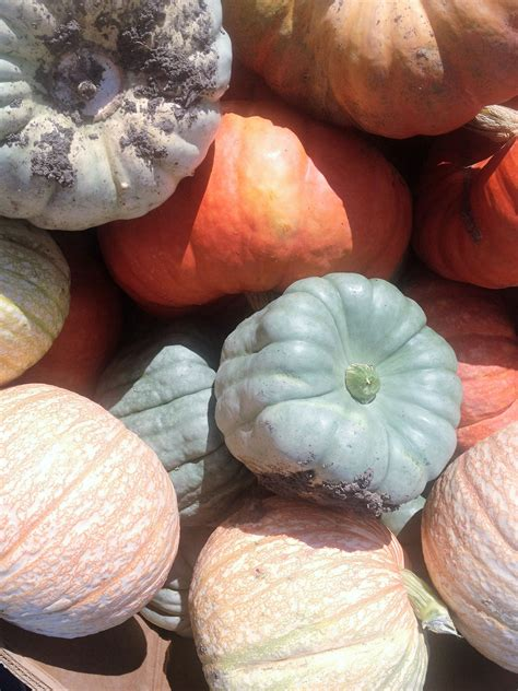 colored pumpkins colored pumpkins prairie view farm market inc