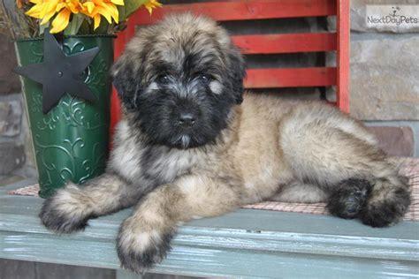 bouvier des flandres puppies for sale bouvier des flandres puppy for sale near harrisburg pennsylvania 47a882a8 9fb1