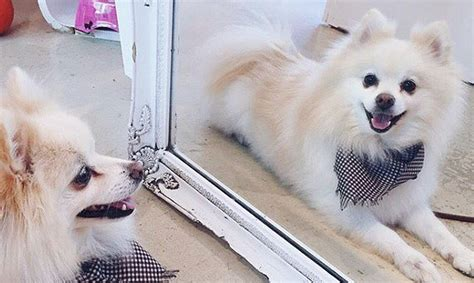 teddy pomeranian rescue save kill shelter pups at vancouver s adoption modern mix vancouver