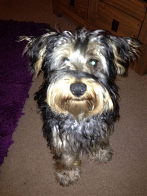 yorkie schnauzer mix for sale yorkie schnauzer mix puppies for sale breeds picture