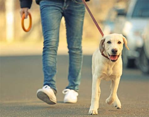 when can i start walking my puppy with heeling teach your to walk beside you american kennel club