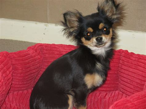 pictures of long haired chihuahua haircuts haircuts for long hair chihuahuas