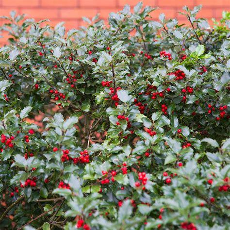 english holly hedge plants ilex aquifolium hedges