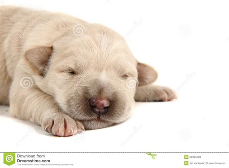 small lab small labrador stock image image of white canine