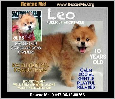 pomeranian adoption nyc new york pomeranian rescue adoptions rescueme org