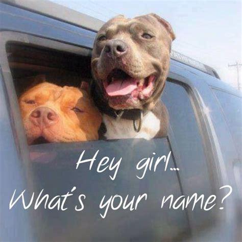 funny pitbulls pitbulls pinterest