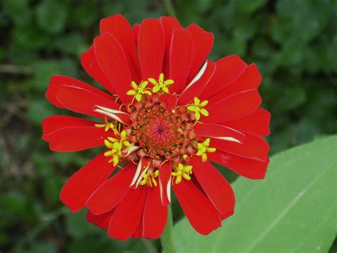 nice orange color common zinnia nice red orange color therapy from the