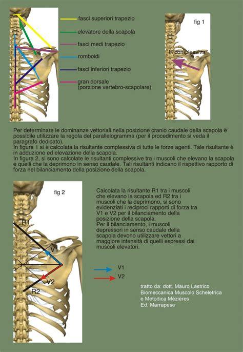 gabbia toracica sporgente istituto superiore di posturologia neuro mio fasciale aifimm