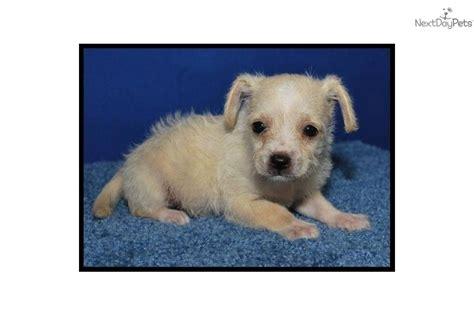 chipoo puppies for sale chi poo chipoo puppy for sale near mcallen edinburg