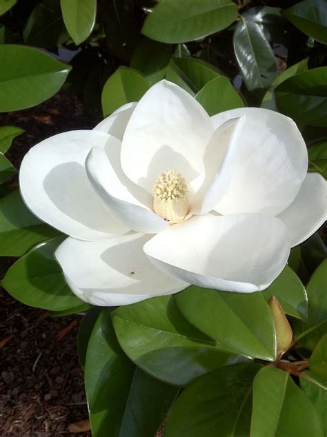 25 best ideas about magnolia trees on japanese magnolia pink trees and trees to plant