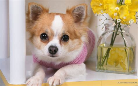 smallest puppy the sweet chihuahua all small dogs photo 18633467 fanpop