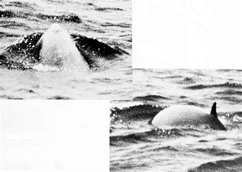 whales dolphins and porpoises of the western atlantic a guide to their identification classic reprint books whales dolphins and porpoises of the western