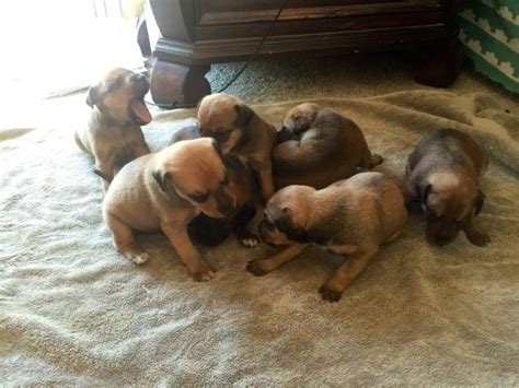 jagdterrier puppies for sale vargys stag and greyhound page hairstylegalleries