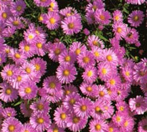 fiori simili alle margherite aster novae angliae settembrini