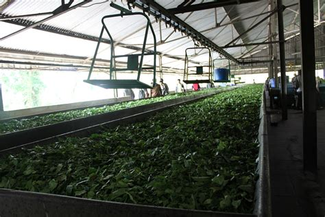 Pabrik Teh Pucuk bandung mengintip proses pengolahan teh