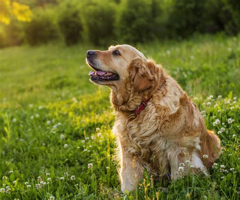 golden retriever lifetime study researchers look for health clues in golden retriever lifetime study newsmax