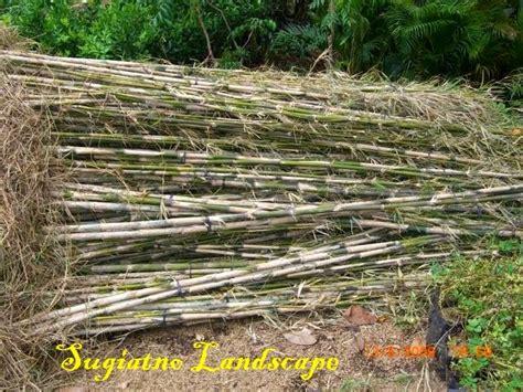 bambu jepang jual bambu hias murah tukang taman
