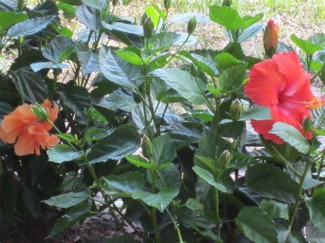 florida flowering shrubs bushes green gardens florida plants
