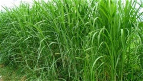 Fermentasi Rumput Pakan Ternak jenis rumput gajah tanaman berguna