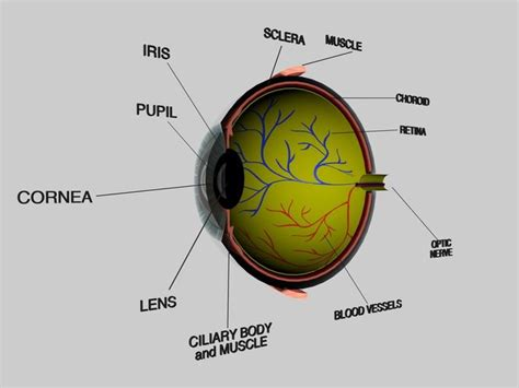 cross section of the human eye human eye cross section eyeball 3d model obj 3ds fbx c4d