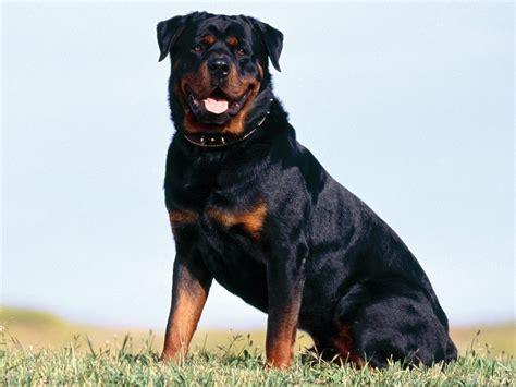 imagenes de rottweiler ingles galer 237 a de im 225 genes raza de perros rottweiler