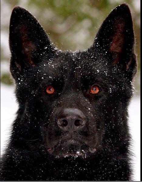 all black german shepherd best 25 black german shepherds ideas on black