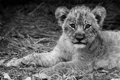 imagenes de leones a blanco y negro cachorro de le 243 n lindo en blanco y negro foto de stock