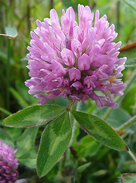 Purple Cover by Pg 48 Whidbey Fidalgo Island Flowers