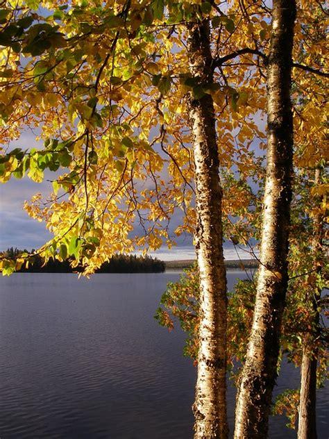 birch yellow 183 free photo on pixabay