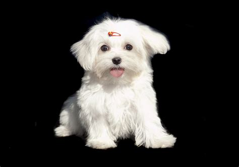 how to tell how big a puppy will get how to determine how big a maltese puppy will get animals me
