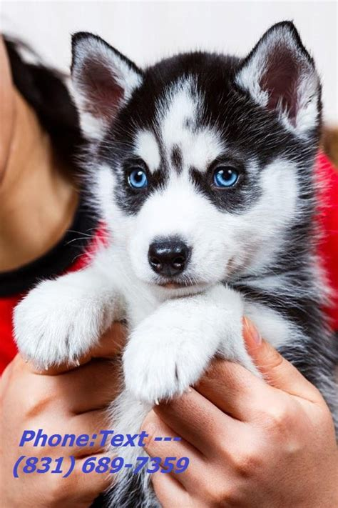 puppies for sale in oklahoma hansome siberian husky puppies for sale dogs puppies oklahoma