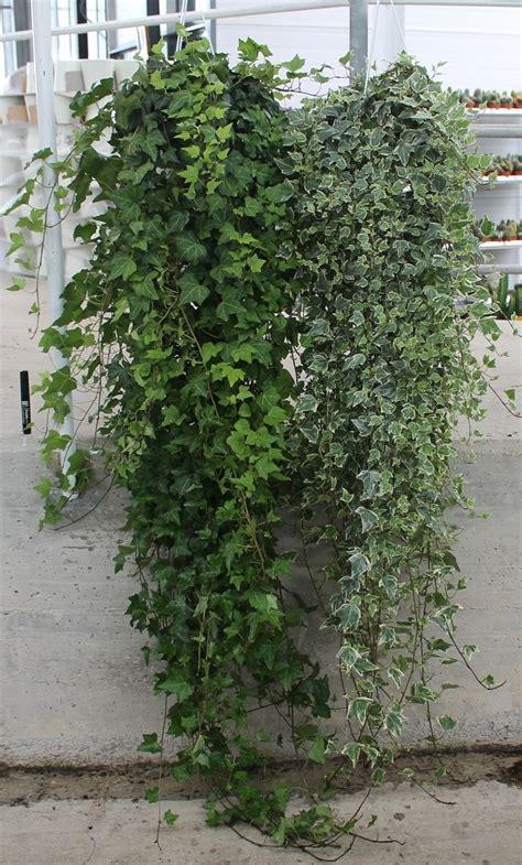 pianta da interno poca luce piante da appartamento poca luce piante appartamento