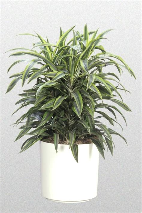 buy house plants now dracaena branched warneckii 26 best dracaena images on pinterest indoor house plants