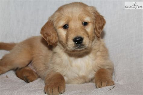 price for golden retriever puppies golden retriever puppy for sale near grand rapids michigan a39d93e6 8f21