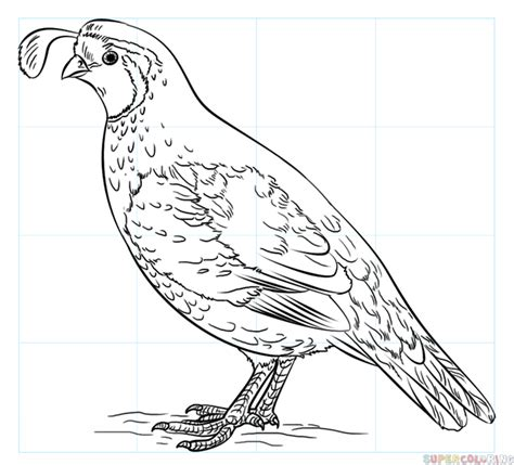 california bird coloring page how to draw a california quail step by step drawing