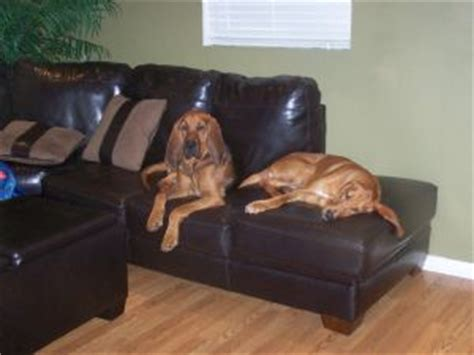 bloodhound puppies for sale in florida bloodhound puppies in florida