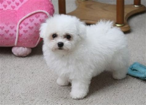 white bolognese puppies sale bolognese puppies for sale in bedford bedfordshire uk bolognese puppy and dogs on