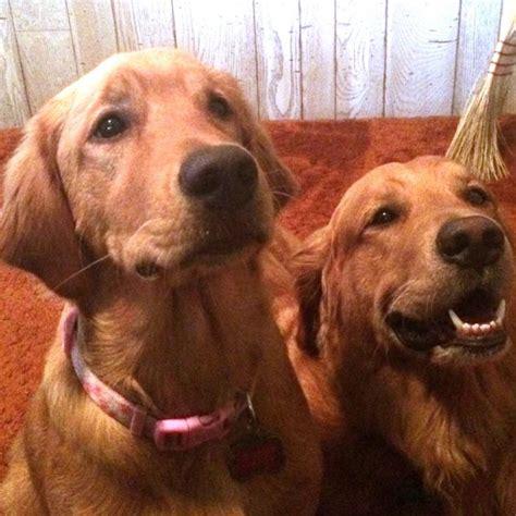 golden retriever coat stages golden lab retriever puppies sweet dreams vacation rentals